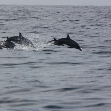 Un grupo de delfines aparece en Getaria